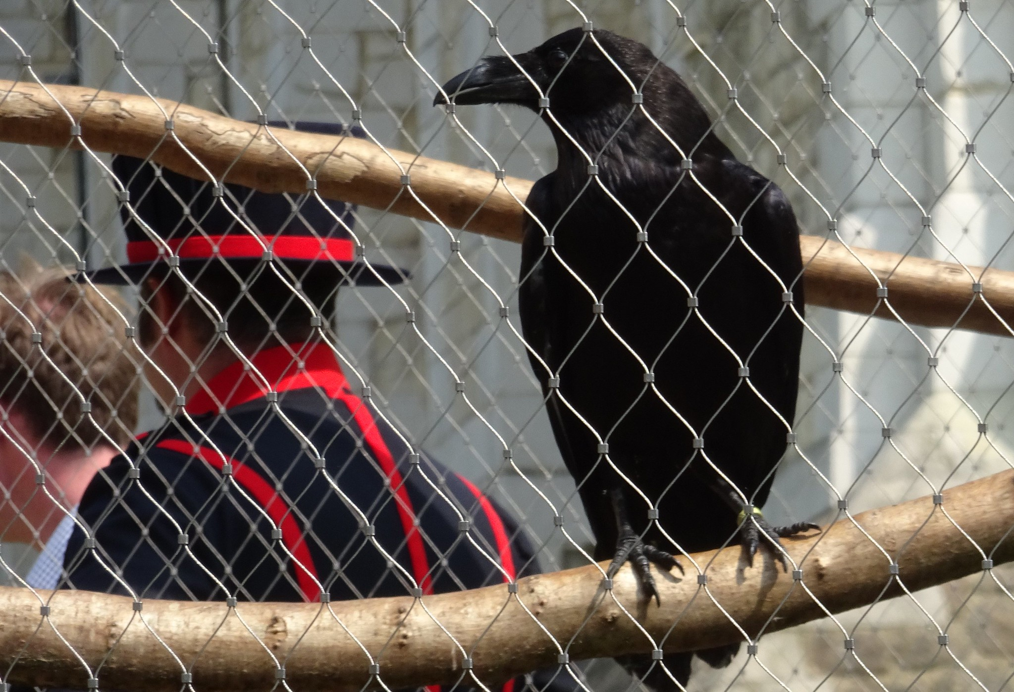 Tower of London welcomes first raven chicks - London Airport Transfers